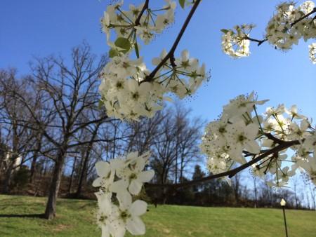 Spring Pear Tree